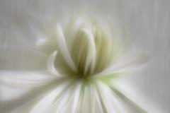 velvety white