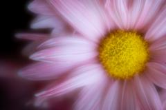 velvety pink