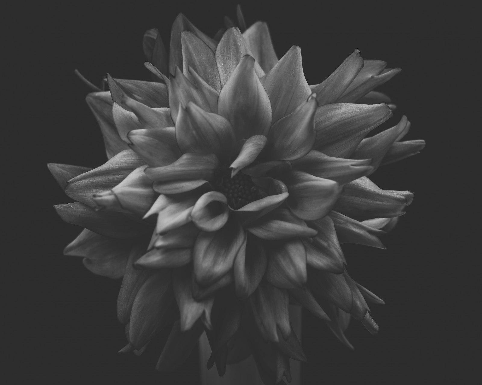 dark dahlia