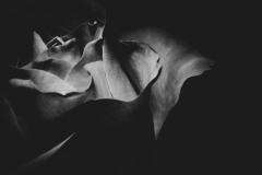 emmalines rose 3
