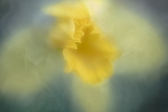 daffodilicious