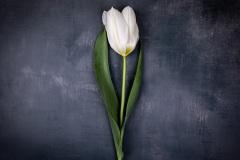 basic tulip