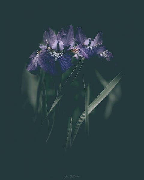 dark-iris