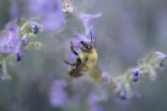 a leetle purple, a leetle bumbly bee